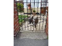 This friendly Bull Terrier was waiting at his garden gate to make friends with Buddy and me as we walked past.