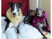 Dale and Chloe get festive as they wait for their new home together. They met at Battersea.