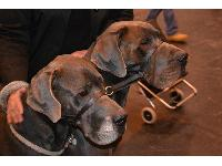 Sharon Rose's gorgeous Great Danes Bellamy and Baruch at Crufts 2013.