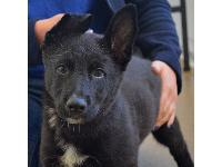 10 week old Hudson is just one of the 400 dogs that Battersea cares for at any one time. The German Shepherd cross pup was bought via the internet, but brought to Battersea when his owners realised their young daughter was scared of dogs. He is now being cared for by staff and volunteers until he finds a new home.