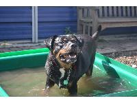 Max the Rottweiler enjoying a cool down in a pool at Battersea.