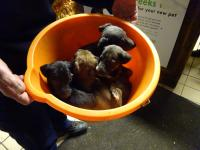 Six tiny Lurcher puppies were dumped in a bucket late in 2016, and taken in by the RSPCA.
