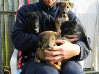 These Lurcher puppies are recovering from being dumped on a doorstep just before Christmas 2016. They are in the care of the RSPCA.