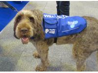 Italian Spinone Gracie raising money for The Blue Cross.