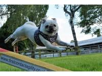 Susannah Chalmers' Pugs are athletic and lively.
