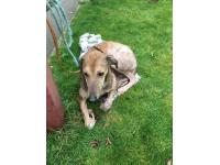 Abandoned Lurcher Ella