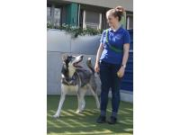 Loki is a Northern Inuit cross in Battersea Dogs & Cats Home's care.