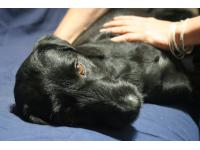 Galen Myotherapy is of great benefit to dogs.