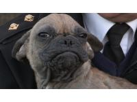 2 'ugly' alien French Bulldog pups rescued by the RSPCA enjoy a beautiful new life