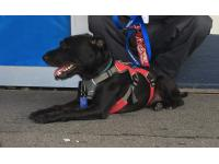 Benny was trained by Service Dogs UK to support Steve through his PTSD.
